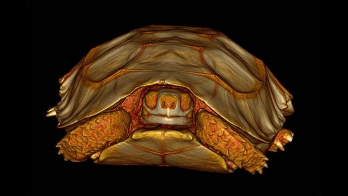 3-D volume rendering of a tortoise. (Courtesy of Chicago Zoological Society)
