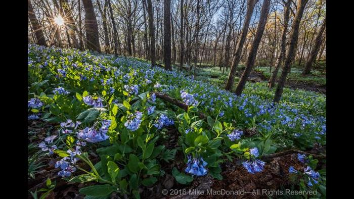 At O'Hara Woods in Romeoville, the April sun rises to warm the springtime woodland brimming with Virginia bluebells. Copyright 2016 Mike MacDonald. All Rights Reserved.