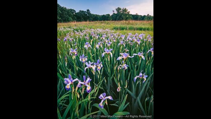 A phalanx of bue flag iris loomd above the spring wetland at Somme Prairie Grove in Northbrook. Copyright 2017 Mike MacDonald. All Rights Reserved.