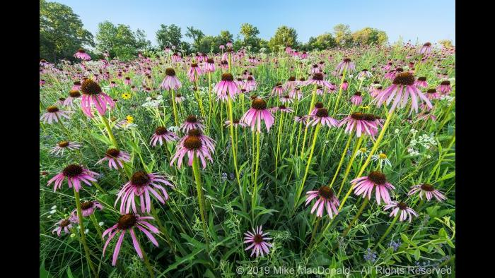 At Belmont Prairie in Downers Grove, June brings a profusion of pale purple coneflower to this rare remnant prairie. Copyright 2019 Mike MacDonald. All Rights Reserved.