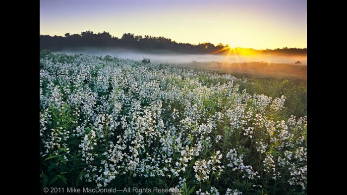 At Bluff Spring Fen in Elgin, pearl blossoms of foxglove beardtongue catch the morning rays and a new day awakens—one as splendid and picturesque as any place on Earth. Copyright 2011 Mike MacDonald. All Rights Reserved.