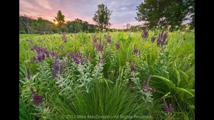 It was a very dry year in Chicago and, here, at Somme Prairie Grove in Northbook. Yet you wouldn't know it from looking at this scene. The purple plant in this panorama is leadplant, which can search for water 15 feet below the arid surface. Other drought-tolerant species seen here include prairie dropseed and wild quinine, in the front; and farther out, prairie dock, compass plant, and rattlesnake master. Copyright 2013 Mike MacDonald. All Rights Reserved.