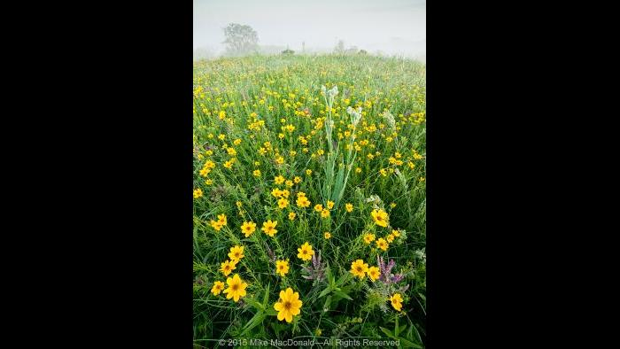 Atop this hill prairie at Shoe Factory Road Prairie, deep-rooted leadplants combine with the happy yellow faces of coreopsis as they shine through the dissipating fog. Copyright 2015 Mike MacDonald. All Rights Reserved.