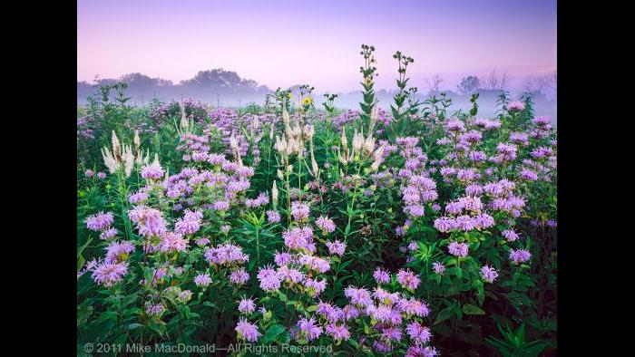 At Wolf Road Prairie in July,the  wildflowers of wild bergamot and Culver's root combine to resemble a fireworks display. Copyright 2011 Mike MacDonald. All Rights Reserved.
