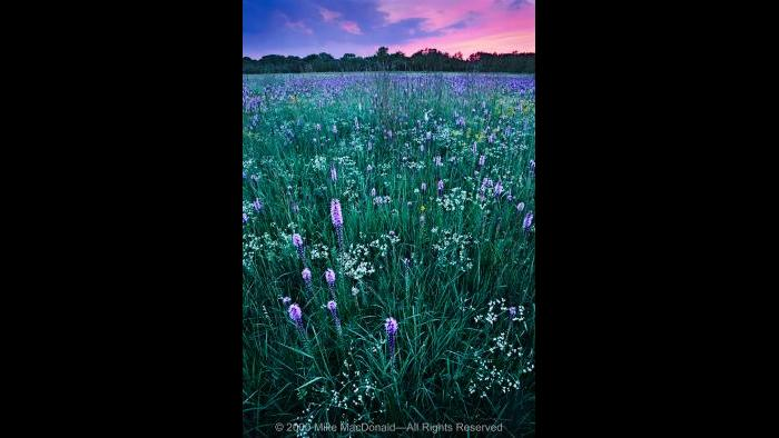 Gensburg-Markham Prairie is famous for its late July fanfare, when the fields ignite with white sparks of flowering spurge and purple torches of marsh blazing star. Copyright 2000 Mike MacDonald. All Rights Reserved.