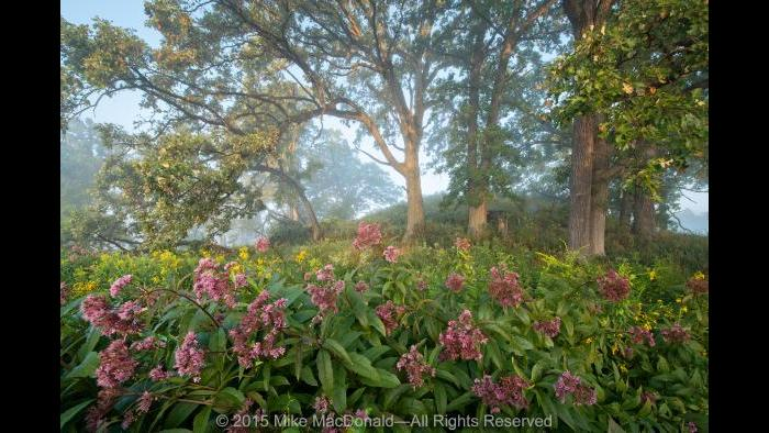 In August at Bluff Spring Fen in Elgin, soft sunlight, diffused by morning mist, filters across the preserve. Gathered at the base of the kame, fire-resistant bur oaks hover above a colorful caboodle of Joe-Pye weed and tall goldenrod. Copyright 2015 Mike MacDonald. All Rights Reserved.