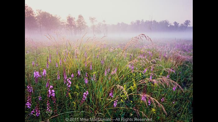 In early September, in the dolomite prairie at Theodore Stone Preserve in Hodgkins, feathery plumes of dew-drenched Indian grass steal the show from rough blazing star and goldenrod. Copyright 2011 Mike MacDonald. All Rights Reserved.
