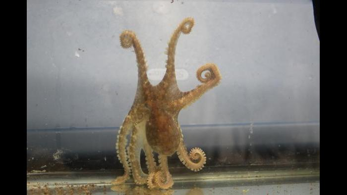 An Octopus bimaculoides clings to the wall of his aquarium using his sucker-lined arms and displays his blue eyespots. (Photo Credit: Caroline Albertin and Abigail Point)