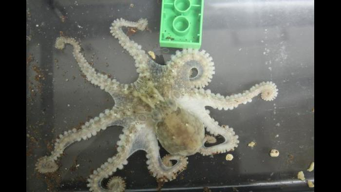 An adult California two-spot octopus (Octopus bimaculoides) spreads out, displaying his namesake eyespots and exploring the floor of his aquarium and a Duplo with his flexible, sucker-lined arms. (Photo Credit: Caroline Albertin and Abigail Point)