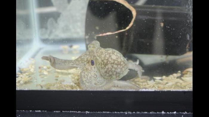 A juvenile California two-spot octopus (Octopus bimaculoides) explores her tank while displaying her namesake blue eyespot. (Photo Credit: Caroline Albertin and Abigail Point)