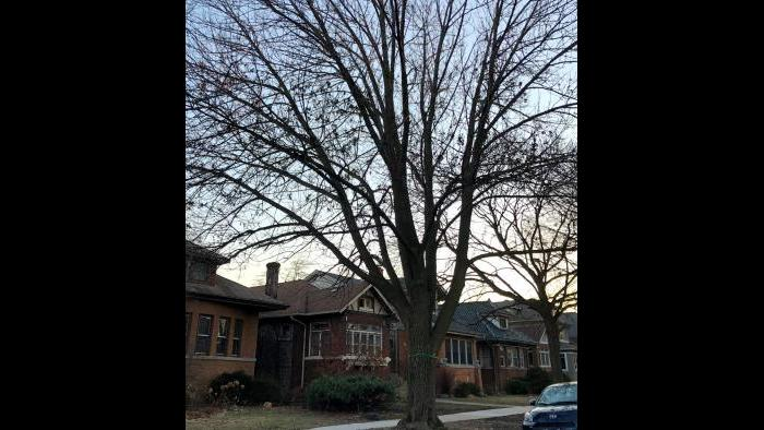Mature ash trees are worth treating, due to their extensive canopy cover, arborists say. (Patty Wetli / WTTW News)