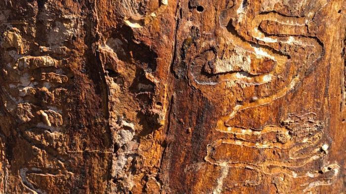 The tunneling pattern of ash borer larvae indicate a tree has been infected. (Patty Wetli / WTTW News)
