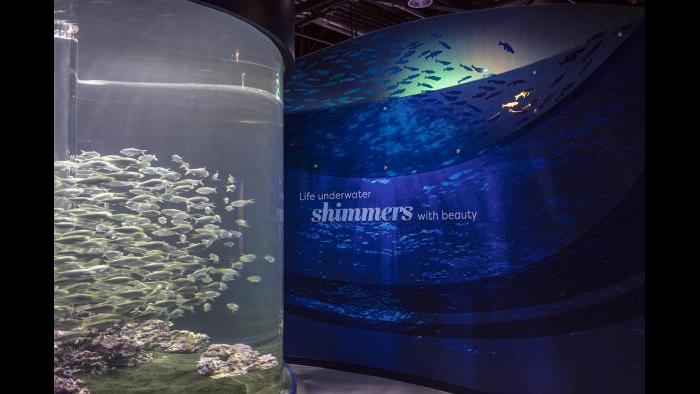 "In ""Shimmer,"" guests discover the mesmerizing and intriguing light that these fish reflect underwater. (Courtesy of Shedd Aquarium)"