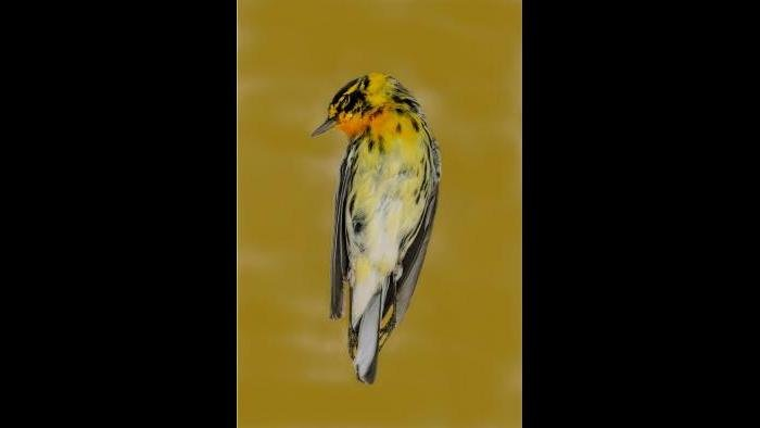 A blackburnian warbler. (Art Fox)