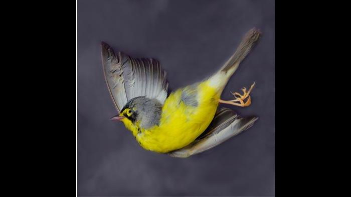 Canada warbler (Art Fox)