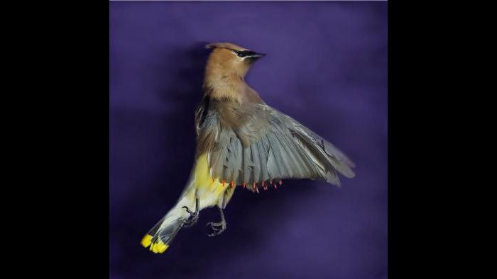 A cedar waxwing. (Art Fox)
