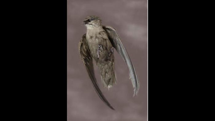 A chimney swift. (Art Fox)