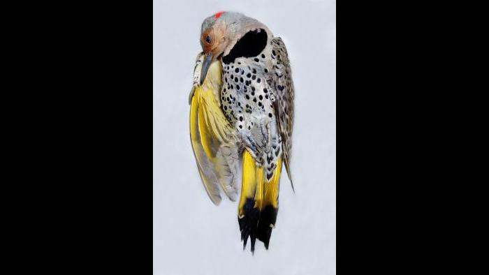 Yellow-shafted flicker (Art Fox)