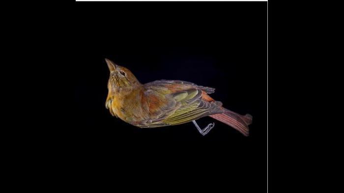 A summer tanager. (Art Fox)