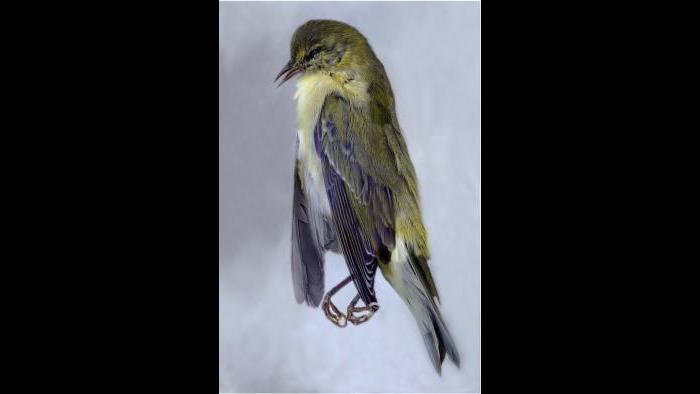 A Tennessee warbler. (Art Fox)
