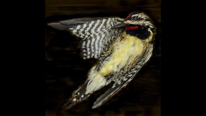 A yellow-bellied sapsucker. (Art Fox)