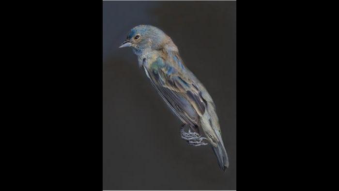 An indigo bunting. (Art Fox)