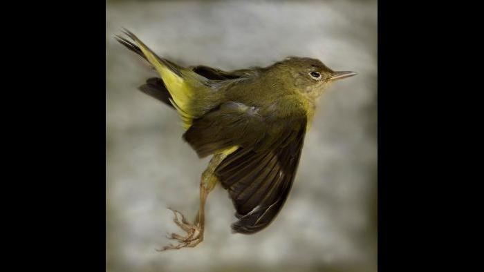 A Connecticut warbler. (Art Fox)