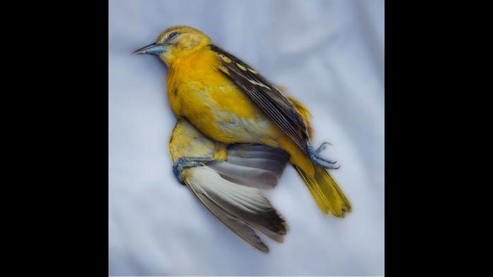 A Baltimore oriole. (Art Fox)