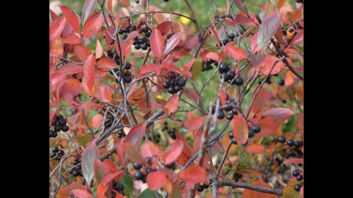 Black chokeberry (Credit: Charlotte Adelman and Bernard Schwartz, Ohio University Press)