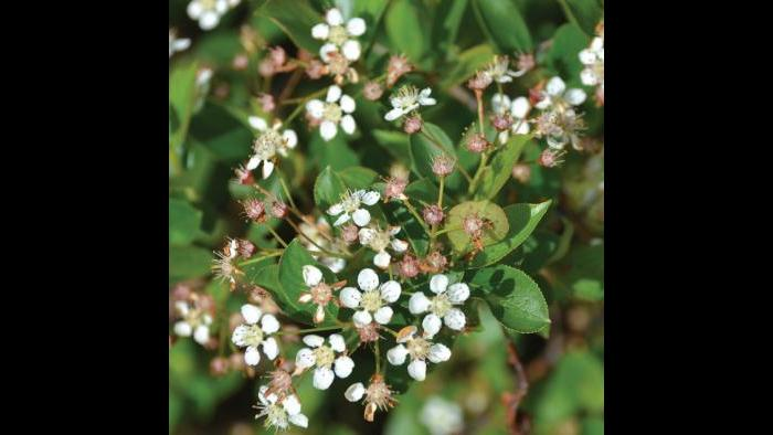 Black chokeberry, spring (Credit: Charlotte Adelman and Bernard Schwartz, Ohio University Press)