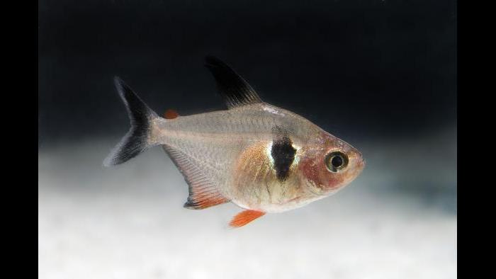 "The black phantom tetra can be seen in the special exhibit ""Underwater Beauty,"" in the ""Patterns"" room. (Courtesy of Shedd Aquarium)"