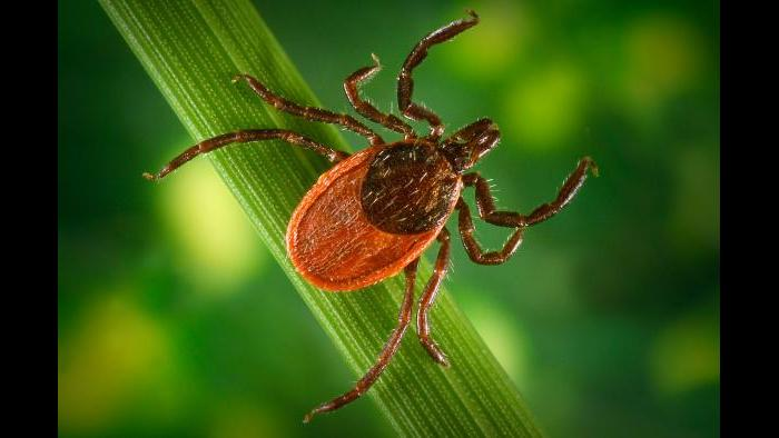 The blacklegged tick can transmit Lyme disease, anaplasmosis, babesiosis, and Powassan disease via its bite. (James Gathany / CDC)