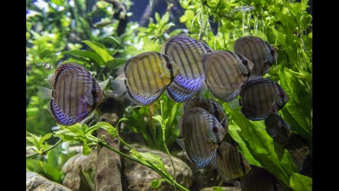 "Patterned in shades of green, red, brown and blue, discus fish are quite colorful and can be seen at ""Underwater Beauty."" (Courtesy of Shedd Aquarium)"