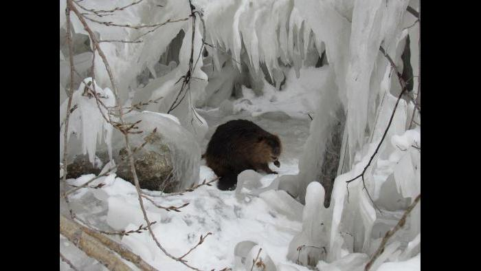 Beaver today feb 2 along the lake in South Chicago. (Submitted by Brendon Stutzman)