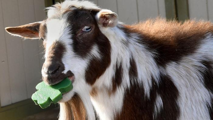Picasso, dwarf Nigerian goat. (Jim Schulz / Chicago Zoological Society)