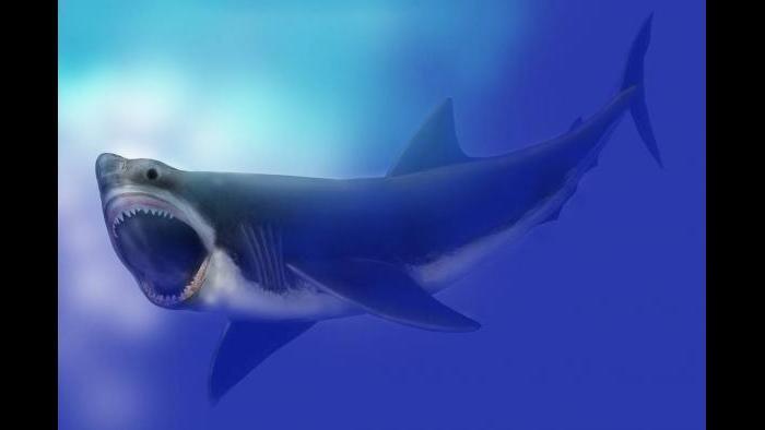 Artist's rendering of a prehistoric Megalodon.