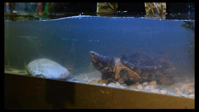 Alligator snapping turtle Patsy McNasty in her new tank at Peggy Notebaert Nature Museum. (Alex Ruppenthal / Chicago Tonight)
