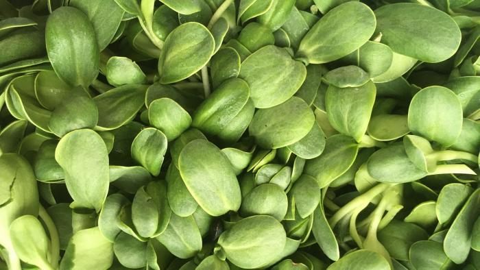 Sunflower shoots are among the microgreens grown by Closed Loop Farms. (Courtesy of Closed Loop Farms)