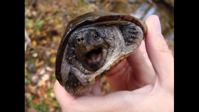 A common musk turtle (Colin Osborn / U.S. Fish and Wildlife Service)
