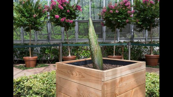 The corpse flower at the Chicago Botanic Garden is set to bloom in August. (Photo courtesy of the Chicago Botanic Garden)