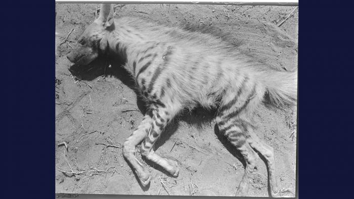 (© The Field Museum, CSZ6113, Photographer Carl Akeley.)