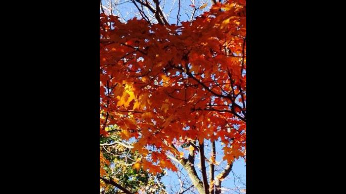 Fall leaves in Lakeview (Kristen Thometz)