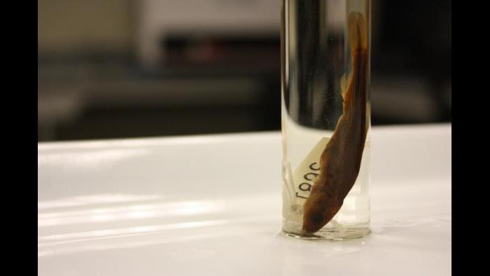 A photo of Evarra tlahuacensis, an extinct fish species. The Field Museum houses the only known remaining specimen. (Chloe Riley / Chicago Tonight)