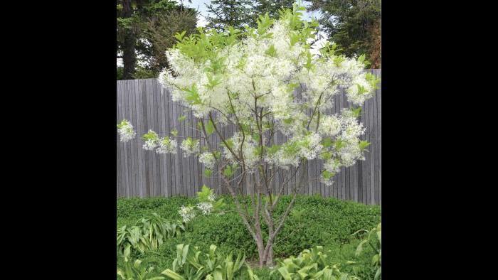 Fringe tree (Credit: Charlotte Adelman and Bernard Schwartz, Ohio University Press)