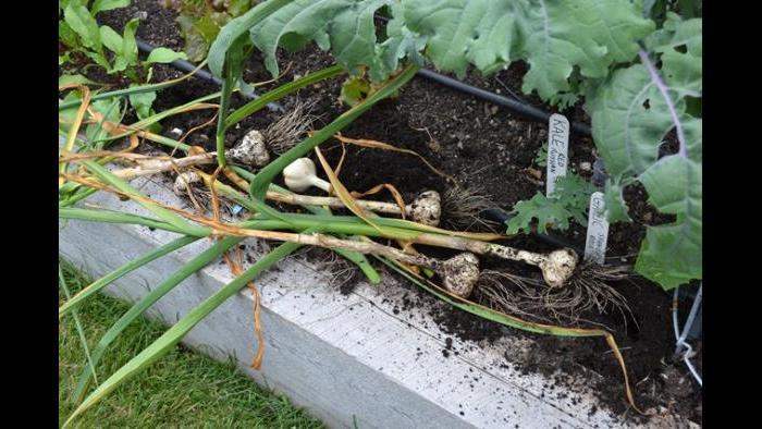 Harvested garlic bulbs.