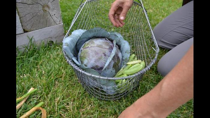 Red cabbage and sugar snap peas are placed in a harvest basket.