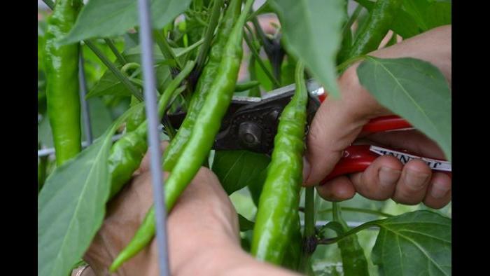 Jeanne Nolan harvests a shishito hot pepper.