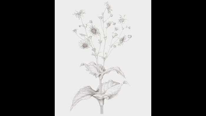 Cup plant (Silphium perfoliatum) in graphite pencil (Heeyoung Kim)