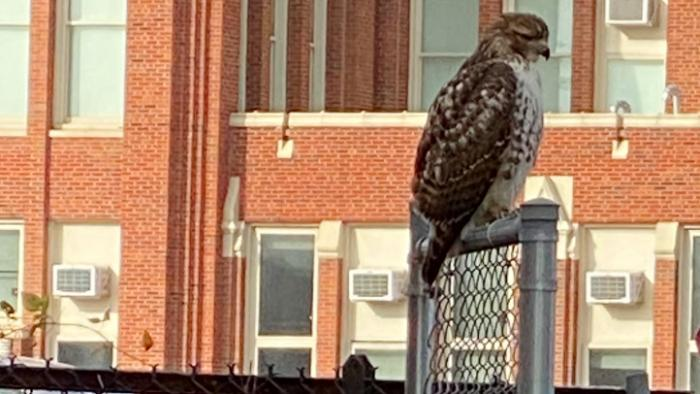 Red-tailed hawk, spotted Nov. 21, 2020, in Roscoe Village. (Courtesy of Greta Pearl)
