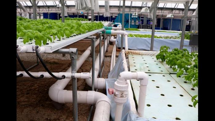 Water re-circulates through the fish tanks and crops via these PVC pipes Kant and Funke assembled themselves. (Evan Garcia)
